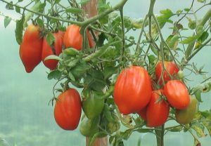 Metafora życia inspirowana pomidorem…
